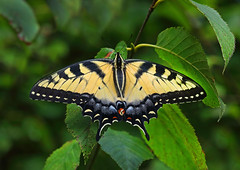 Tiger Swallowtail Butterfly (ashockenberry) Tags: wildlife wildlifephotography wild wilderness eco ecosystem reserve travel tourism habitat nature naturephotography natural majestic mountains lepidoptera butterfly tiger swallowtail yellow forest wings
