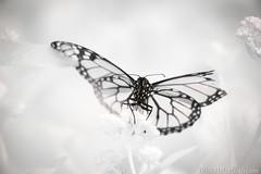 20-watermark (Brian M Hale) Tags: 720nm ir infrared monarch butterfly insect outside outdoors nature kolari vision kolarivision tower hill botanic botanical garden boylston ma mass massachusetts newengland usa brian hale brianhalephoto