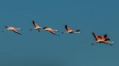 Marcha rosa (Feliriffoval) Tags: flamenco chileno volando fauna chilena aves de chile