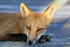Amber Eyes (marylee.agnew) Tags: vulpes fox red nature happy light eyes amber sunlight wildlife thinking urban outdoor