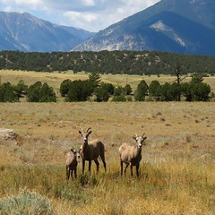 On the Ruby Mountain Road (Patricia Henschen) Tags: nathrop nationalmonument brownscanyon chaffeecounty rubymountain coloradoparkswildlife backroads backroad rural arkansasriver arkansasheadwatersrecreationarea bighornsheep sheep rockymountain young ewe kid colorado
