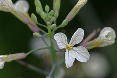 Wild Radish (macromerriment) Tags: wildradish radish raphanus raphanistrum raphanusraphanistrum nature flora floral flower flowers garden bloom blossom outdoors outside colour color light macro richmond bc britishcolumbia canada terranovapark communitygardens