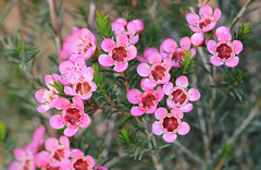 In the pink (WinRuWorld) Tags: flowers hotpink geraldtonwaxflower geraldtonwax plant shrub botany garden outside chamelauciumuncinatum myrtaceae myrtales floweringplant angiosperm flora macrophotography canon canonphotography nature inthepink dof depthoffield winter