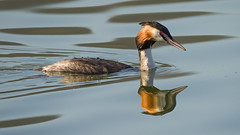 a Crested Grebe (Franck Zumella) Tags: grebe crested huppe oiseau bird nature animal wildlife sauvage lac lake water eau reflection reflexion color couleur sony a7s a7 tamron 150600 eye red oeil rouge