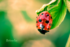 Tiny Lady (BlueLunarRose) Tags: ladybird ladybug ladybeetle beetle bug insect red green leaves nature macro dof reflection bokeh animal cute sonyalphadslra200 sal1855 bluelunarrose ngc