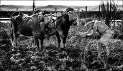 Des boeufs et des hommes /  Oxen and men (vedebe) Tags: travail homme humain human people animaux boeuf boeufs champs agriculture noiretblanc netb nb bw monochrome espagne chapeau société