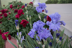 Blue Iris and Red Poppies, June 7, 2019 (marylea) Tags: jun7 2019 redpoppies blueiris blue flower flowers iris beardediris