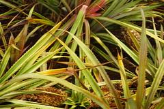 Pineapples (Like_the_Grand_Canyon) Tags: hawaii pineapple plantation dole