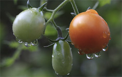 Raindrops And Whiskers (ioensis) Tags: tomatoes garden tomatos raindrops whiskers feelingsad webstergroves missouri mo jdl ioensis 16650001909081b©johnlangholz2019 september 2019 johnlangholz2019 1665000190908 myfavoritethings soundofmusic macro