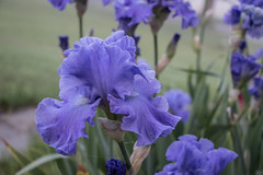 Blue Iris, June 7, 2019 (marylea) Tags: jun7 2019 blueiris blue flower flowers iris beardediris redpoppies