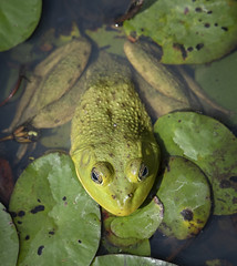 Warts and All (TW Olympia) Tags: frog steigerwald lake national wildlife refuge