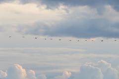 IMG_0025x (gzammarchi) Tags: italia paesaggio natura mare ravenna lidoadriano alba animale fenicottero volo stormo monocrome