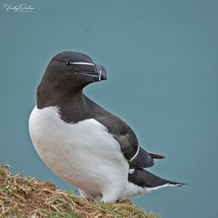 Razorbill - Jun 19 _DSC7349 (vickyouten) Tags: vickyouten razorbill wildlife nature nikon nikond7200 sigma sigma150600mmc bemptoncliffs bridlington uk