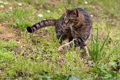 X-move (srkirad) Tags: animal cat travel blur nature grass closeup outside outdoors dof bokeh serbia move depthoffield foliage srbija xmove niškabanja