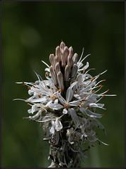 Asphodelus albus, White asphodel, Bijeli čepljez, 7258 Bot, Satničko, Hreljin 22.V.2014 (Morton1905) Tags: 20140522satničko asphodelusalbus whiteasphodel bijeličepljez 7258bot satničko