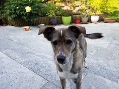 20190604_081001 (citydogs4streetdogs) Tags: penelopa lopa adopted best