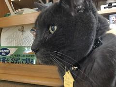 Cranky Bonkers (sjrankin) Tags: 9september2019 edited animal cat bonkers closeup table floor cranky livingroom kitahiroshima hokkaido japan