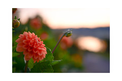 Dawn (balu51) Tags: morgenspaziergang morgen dahlie orange sommer morning morningwalk dawn justbeforesunrise flower dahlia 60mm bokeh summer august 2019 copyrightbybalu51