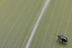 Erlenblattkäfer (German Circle) Tags: erlenblattkäfer alderleafbeetle käfer bug beetle insekten insekt insects insect tiere animals macro makro