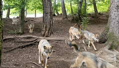 Lupi - Wolves (Anteriorechiuso Santi Diego) Tags: wolves wolf nature wild forest