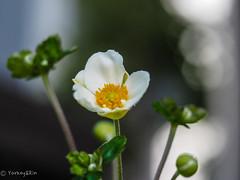 2019 Japanese anemone #1 (Yorkey&Rin) Tags: 2019 autumn em5markii inmygarden japan japaneseanemone macro olympus olympusm60mmf28macro p9080060 rin september シュウメイギク マクロ 九月 庭