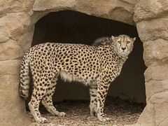 cheetah (2) (spicspics) Tags: animals wildlife bigcat outdoors spots african cheetah