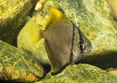 Moonyfishes or Butter Bream (Monodactylus argenteus) in the Freshwater Reaches of the Brisbane River Queensland Australia. (jasonsulda) Tags: monodactylus argenteus butter bream moonyfish silver moony freshwater saltwater brisbane river queensland australia biotope aquarium fish aquatic