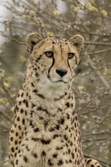 cheetah (spicspics) Tags: animals wildlife bigcat outdoors spots african cheetah