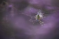 Wasp Spider (Benjamin Joseph Andrew) Tags: heathland heather lowland latesummer earlyautumn arachnid invertebrate one lone single individual sunset