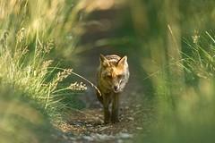 2019-07-19_Renard_2931 (Bruno Pesenti) Tags: renard goupil red fox
