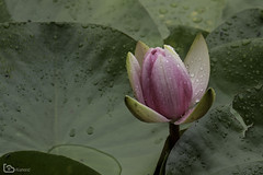 water lily (alamond) Tags: lily waterlily nymphaeaceae plant flower water pond canon 7d markii mkii llens ef 70300 f456 l is usm alamond brane zalar