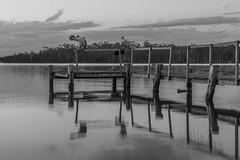 Pelicans on Coomba Park Jetty, NSW (Peter.Stokes) Tags: photography outdoors sky colourphotography boat boating bluehour water jetty clouds newsouthwales wallislake pelicans australianpelican australia australian au cloud sunset nsw