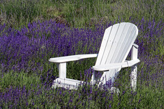 White Flash (emerge13) Tags: lavenderfields lavande flowerfields flowers floweryfield steustachequébec quebec countryside adirondackchairs chairs nature saariysqualitypictures white lavender bestcapturesaoi