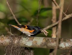 American Redstart With Moth (ruthpphoto) Tags: bird americanredstart