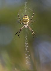 Wasp Spider 1W 8th September (Gavin Vella) Tags: macro canon canon7dmkii 100mm canon300mm28is closeup nature wild wildlife wildlifephotography wildlifeuk gavinvellanature gavinvella wwwgavinvellacom spiders spidersuk ukspiders