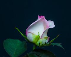 Natural Low-Key. (Omygodtom) Tags: existinglight explorer lowkey flora flower rose macro tamron90mm tamron d7100 nature natural algorithm
