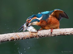 Kingfisher with catch 8-9-19 (legoman1691) Tags: nature wildlife wildbird kingfisher fish