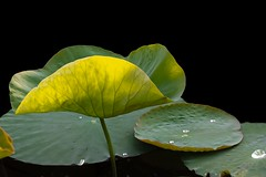 Lotus leaf in the sunlight