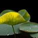 Lotus leaf in the sunlight