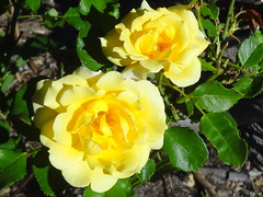 Nature never did betray the heart that loved her.  (William Wordsworth) (boeckli) Tags: flowers roses yellow 41629 hx9v flower flora fleur plants pflanzen plant pflanze outdoor outside gelb blumen blume blüten blossom bloom blossoms blooms rosen