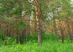 A tree in the forest (man_from_siberia) Tags: trees pine pineforest pines tree деревья сосны сосновыйбор лес природа nature outdoors forest siberia russia сибирь россия 2019 лето июль summer july canon eos 5d dslr canoneos5d canon5d canon5dclassic fullframe canonef24mmf28isusm primelens outdoor