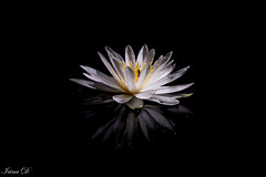 Stillness (Irina1010) Tags: waterlily flower white pond reflection stillness water japanesegarden gibbsgardens beautiful lowlight nature canon