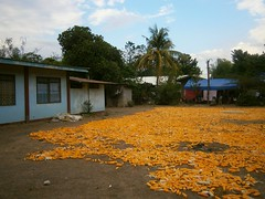 Sweetcorn on the ground (duns123) Tags: sweetcorn farm phillipines countryside yellow palm tree farmhouse