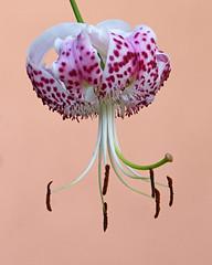 Giglio martagone (Darea62) Tags: giglio lilyofistambul sultanlily dragonlily turkscaplily liliummartagon flower nature lily closeup