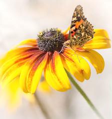 Fall Colours (~DGH~) Tags: 2019 alberta canada edmonton pentaxk50 september butterfly flower macro orange smcpentaxdfamacro100mmf28wr yellow ~dgh~ paintedlady thistlebutterfly vanessacardui