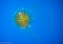 Japanese Sea Nettle (KRHphotos) Tags: jellyfish wildlife baltimore maryland nationalaquarium nature
