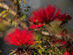 Plumerillo rojo (Calliandra tweedii) (Ce Rey) Tags: flowers flores red rojo vermelho planta plant botánica botanic plantasnativas plantas plants arbusto argentina