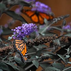 Laden (KWPashuk (Thanks for >3M views)) Tags: nikon d7200 tamron tamron18400mm lightroom luminar luminar2018 luminar3 luminar31 kwpashuk kevinpashuk butterfly bush flower garden outdoors nature insect monarch oakville ontario canada