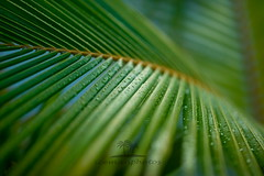 Rainy day (icemanphotos) Tags: macro art sigma 85mm drops rain tropical palm leaf lines green amazing calmness sunset nature peaceful