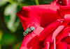 IMG_7104 (gidlark) Tags: plant flora flower flowers red rose insect fly diptera petal blossom